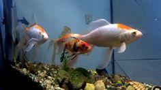 #Fish#FishTank#TropicalFish#Fishing#NomCat#Salmon#Aquarium#Health#Food#Healthy#Seafood#Heart#HealthyLiving#FishTank#HeartHealth#Recipe#FlyFishing#TropicalFish#HealthyEating#Trout#Goldfish#Cooking#Water#Goldfish#Water#Saltwater#Vancouver#Dubai#NomCat#MontereyBayAquarium#SeaLife#UAE #fish #aquarium #fishtank #swim #swimming #water #coral #reef #reeftank #tropical #koi #saltwater #freshwater #beautiful #ocean #watertank #blueoranda #orandagoldfish #goldfishlove #gBig GoldFish Tank and Guppies…