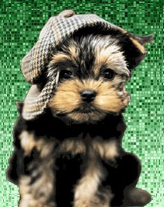 """Could this puppy be any cuter? Maxwell (Yorkshire Terrier Puppy) - How can you put a cap on cuteness, wonders Maxwell."" omg i want a Yorkie named Duke and a Sheep Dog named Maxwell. Animals And Pets, Baby Animals, Funny Animals, Cute Animals, Cute Puppies, Cute Dogs, Dogs And Puppies, Funny Dogs, Yorkies"