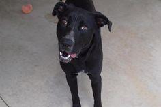 Meet Zorro, an adoptable Labrador Retriever looking for a forever home. If…