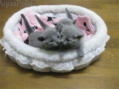 ロシアンブルー子猫写真 ペット画像 1枚目
