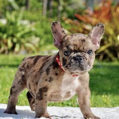 """Determine more information on """"french bulldog puppies"""". Visit our web site. Bulldog Puppies For Sale, Cute Puppies, Cute Dogs, Dogs And Puppies, Doggies, Brindle French Bulldog, French Bulldog Puppies, French Bulldogs, French Bulldog Adult"""