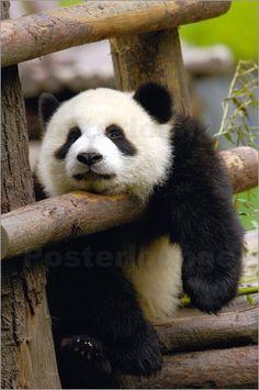 """Poster """"#Panda liegt auf einem Zaun"""" von Pete Oxford - #relax #happyweekend #animal #cute #faul #lazy"""