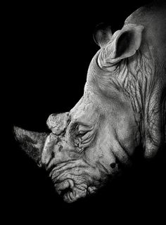 White rhino by Jeff London on 500px