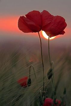 ☀ red poppy sunset
