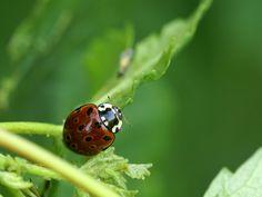 http://faaxaal.forumgratuit.ca/t1005-photos-de-coccinelles-coccinelle-ocellee-anatis-ocellata-eyed-ladybird#7424 Photo gratuite et libre de droits de coccinelle  Photos de coccinelles dans le domaine public