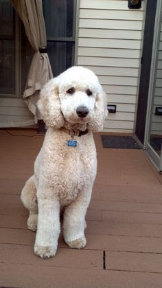This is a standard poodle but could be a twin of my labradoodle. I Love Dogs, Cute Dogs, Poodle Haircut, Poodle Hairstyles, Poodle Cuts, Poodle Grooming, Dog Grooming, Puppy Cut, Shiba Inu