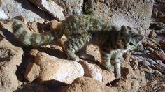 Felinos que se encuentran en peligro de desaparecer en Chile debido al poco cuidado y el cero respeto por su hábitat.