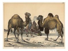 Two Types of Camel: Dromedary (Left) and Bactrian (Right) - Sally or Alice the Camel has One Hump... http://www.squidoo.com/camel-humps