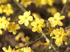 Der Winter-Jasmin (Jasminum nudiflorum) trägt seine hübschen gelben Blüten von Dezember bis März