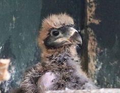 Striated Caracara Chicks Hatch at Paradise Park