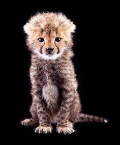 Baby Cheetah... I want one!