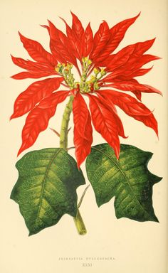 ex Klotzsch [as Poinsettia pulcherrima (Willd. ex Klotzsch) Graham] / Rothschild, J., Les plantes a feuillage coloré [original ed. Lowe and W. Howard, Beautiful leaved plants vol. Illustration Botanique, Illustration Blume, Poinsettia Flower, Christmas Poinsettia, Xmas, Christmas Lights, Vintage Botanical Prints, Botanical Drawings, Botanical Flowers