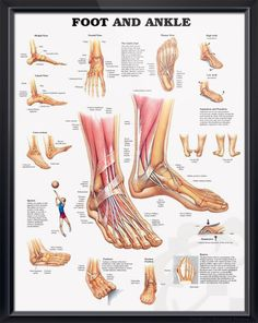 Foot and Ankle anatomy poster shows medial, frontal, lateral and plantar views as well as a cross section. Muscles chart for podiatrist doctors and nurses.