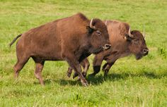 North American Bison | ... bison is 14 the american bison has four lumbar vertebrae while