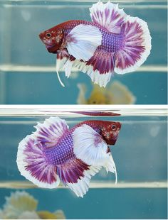 Pretty Fish, Beautiful Fish, Underwater Creatures, Ocean Creatures, Colorful Fish, Tropical Fish, Betta Aquarium, Beta Fish, Siamese Fighting Fish