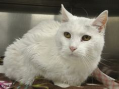 Lucille is an adoptable Domestic Medium Hair-White Cat in North Haven, CT. Please meet Lucille! She is such a wonderful cat!  She is very soft and pretty.  She has beautiful white fur with a little so...