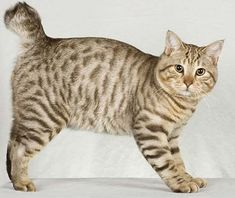 American Bobtail, With his short tail, tufted ears and toes, and powerful body, has a distinctively wild look. See all American Bobtail characteristics below! Fluffy Cat Breeds, All Cat Breeds, Pet Breeds, Cute Kittens, Cats And Kittens, Siamese Cats, Kitty Cats, Gato Bobtail, Pets