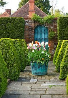Tulips in copper add frivolity to the topiary. Notice how the door in the wall echoes the colour of the container. DODDINGTON PLACE GARDENS, KENT