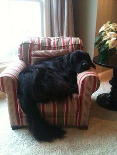 Love my Newfoundland Dog, Lucy! More #NewfoundlandDog