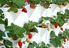 Growing strawberries on a wall mounted planter. wonder if we could turn it into a DIY?