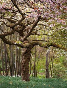 Blossoming Magnolia Tree, Bodnant Gardens, Wales  #Mostamazing