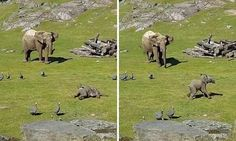 Adorable footage has emerged of a baby elephant (pictured) in Borås Zoo, in southern Sweden, who tires itself out as it chases a flock of birds around its enclosure.