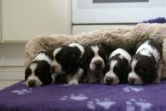 the boys from our latest litter of English Springer Spaniels