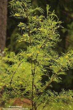Caragana arborenscens Lorbergii Romppala - Lindan pihalla: Kevätkatsaus
