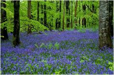 Portglenone forest Co. Antrim, with it's annual carpet of bluebells