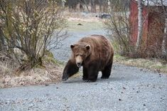 Chunk (#32) Usually one of the first to come out of hibernation. Katmai, Alaska