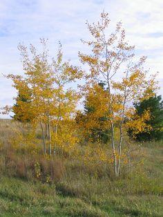 Prairie Gold® Aspen