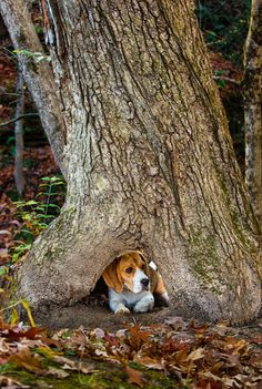 """Click visit site and Check out Best """"Beagle"""" T-shirts. This website is excellent. Tip: You can search your name or your favorite shirts at search bar on the top."""