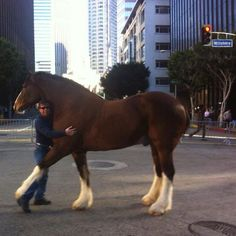 the Art of Liberty, Tommie Turvey during the filming of Super Bowl Commercial with a Budweiser Clydesdale. All The Pretty Horses, Beautiful Horses, Equine Photography, Animal Photography, Clydesdale Horses Budweiser, Budweiser Commercial, Best Commercials, Black Horses, Draft Horses