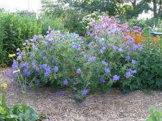 Image result for geranium johnson's blue cranesbill Blue Geranium, Landscaping, Plants, Image, Geraniums, Plant, Landscape Architecture, Garden Design, Planting