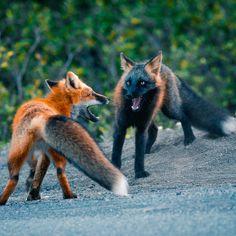 captured this of red fox and cross fox playing fight … gefangen genommen von Rotfuchs und Kreuzfuchs spielen Kampf … – Rare Animals, Cute Baby Animals, Animals And Pets, Funny Animals, Wild Animals, Strange Animals, Beautiful Creatures, Animals Beautiful, Wolf Hybrid