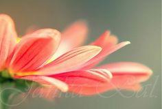 JankaBal / Chryzantéma