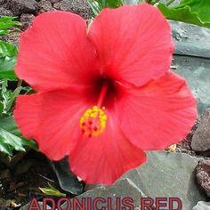 ADONICUS RED