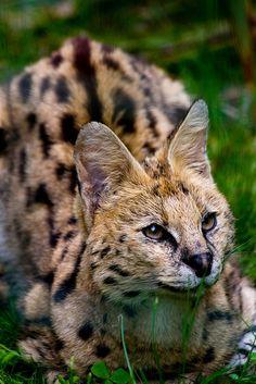 Geoffroy's Cat, Pont-Scorff Zoo | Flickr - Photo Sharing!