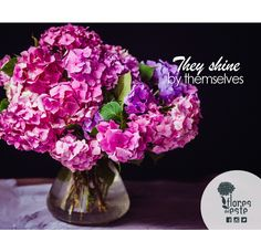 #Hydrangeas don't need other flowers to make them look completely awesome #Colombia #flowers #perfection