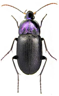Chlaenius purpuricollis