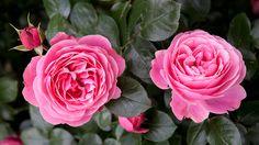 Frisch erblühte rosane Rosen | Rosen . Garten . roses . garden | Rheinland . Eifel . Koblenz . Gut Nettehammer |