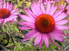 Echinacea enjoying UK summer sunshine