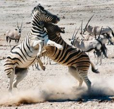 Zebras biting and kicking.