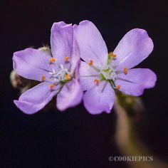Drosera Paradoxa.  Double bloom. by leocarnivorousplants