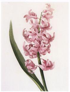design-is-fine:Pierre-Joseph Redouté, Hyacinth from Choix des plus belles fleurs, 1827. Via flickr