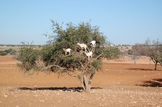 Tree Goats -    Tamri, Morocco.  Eating berries in Argan trees....