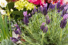 Τοξικός παράδεισος σε κήπους και μπαλκόνια Greece, Lavender, Plants, Blog, Flora, Planters, Grease