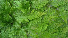 plantas-ornamentais-renda-portuguesa