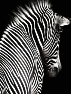 Zebra ♥