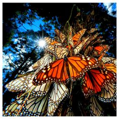 Monarch Butterflies. Fact 2 of 3.   The migrating Monarch butterfly kaleidoscope always arrives at the same trees year by year in Mexico. Experts remain perplexed, given that no individual butterfly ever repeats this trip during a lifetime. Credit - https://www.ecotravelmexico.com/facts-monarch-butterfly-migration/.php